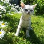 Чистокровные шотландские котики, Новосибирск
