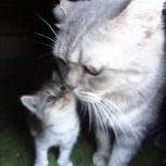 Продам котят от рабочих родителей, Новосибирск