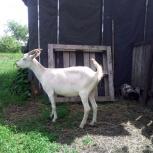 Молочная коза, Новосибирск