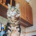 Продам кота породы мейн-кун, Новосибирск