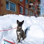 Красотка собака Альма в добрые руки, Новосибирск