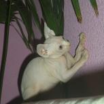 Котенок канадский сфинкс, Новосибирск