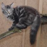 Норвежские лесные котята с родословной, Новосибирск