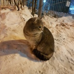 Найден кот!, Новосибирск