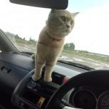 Пропал кремовый кот  в ч/с Владимировская, Новосибирск