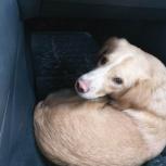 Найдена собака светло-рыжего окраса среднего размера в ошейнике, Новосибирск