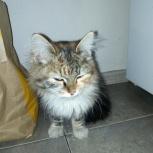 Найдена кошка сиьирской породы, Новосибирск