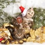 Британские мраморные котята, Новосибирск