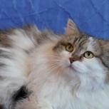 Ирэн,Ириша очень уютная кошка стерилизованная), Новосибирск