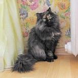 Эксклюзивная кошка Пушнина, Новосибирск