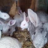 крольчат продам, Новосибирск