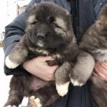 Высокопородные щенки Кавказской Овчарки., Новосибирск