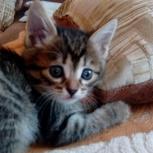 Кошечка-хаврошечка 1,5 мес. от мамы-мышеловки, Новосибирск