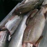 Рыба свежая оптом горбуша кета голец кижуч и др, Новосибирск
