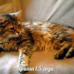 Сибирский кот Гриша, Новосибирск
