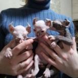 Котята породы Донской Сфинкс, Новосибирск