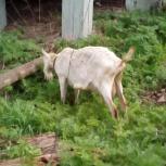 Козы, козочка, козел, Новосибирск