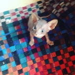 Продам котят породы Донской сфинкс, Новосибирск