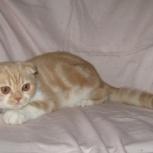 Продам в дружную семью - мегаласковый вислоушка-котик, Новосибирск