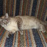 Большой котик-лежебока Бааааарсик в добрые руки, Новосибирск