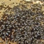 Пчёлы карпатской породы 2018 (рамки с пергой), Новосибирск