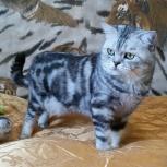Приглашаем в гости кошечек на вязку, Новосибирск