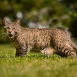 Пиксибоб котята для вас, Новосибирск