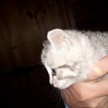 Котята полубританцы, Новосибирск