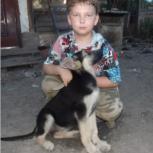 Щенки восточноевропейской овчарки РКФ, Новосибирск