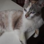 Лея, голубоглазая кошка, Новосибирск