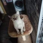 Котята. Детки европейской бурмы, Новосибирск