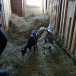 Козел, коза, козлята нубийцы с документами, Новосибирск