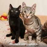 Рысик и Шайба 5,5 месяцев (стерилизованные), Новосибирск