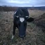 Продажа! Молочная корова, Новосибирск