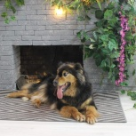 Собака-компаньон Маша., Новосибирск