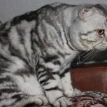 Вязка мраморный вислоухий кот, Новосибирск