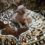 Котята канадского сфинкса, Новосибирск