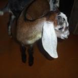 Коза и козлята нубийской породы, Новосибирск