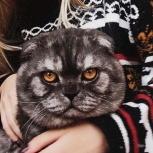 Потерялся вислоухий кот !, Новосибирск
