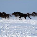 Закупаем лошадей и другие виды сельхоз животных, Новосибирск
