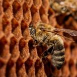 Пчелопакеты карпатка доставка бесплатная по россии, Новосибирск