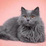 Шикарная кошка Алсу, Новосибирск