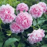Пион, роза, спирея, каприфоль, японская айва, ирга, клубника., Новосибирск