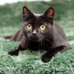 Черная кошка пантерка Лея ищет дом!, Новосибирск