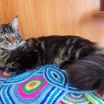 Кот мейн-кун приглашает на вязку, Новосибирск
