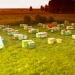 Продам пчел, пасеку, ульи, пчелосемьи, Новосибирск