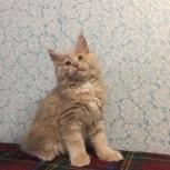Праздничный котенок мейн-кунчик, Новосибирск