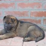 Продам щенка немецкой овчарки, Новосибирск
