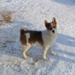 Продам щенка западно-сибирской лайки, Новосибирск