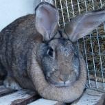 Продам кроликов мясных пород на племя, Новосибирск